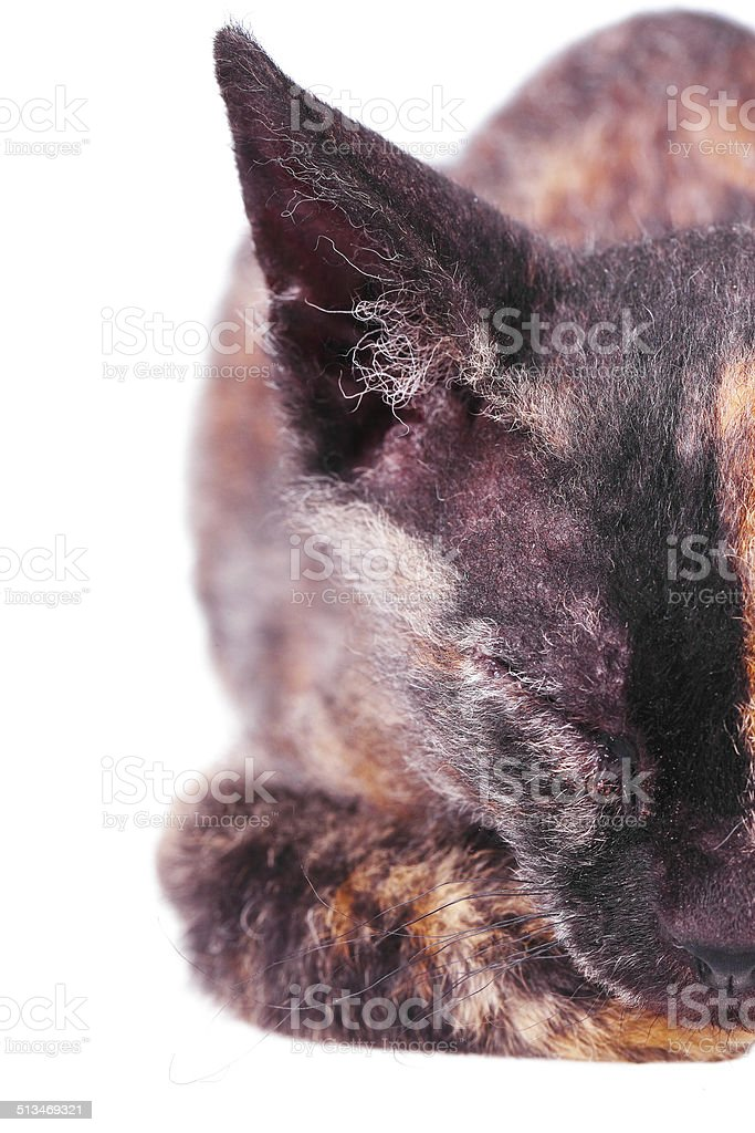Young canadian sphinx cat stock photo