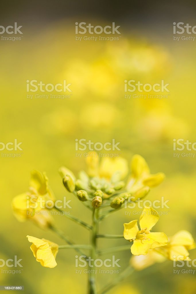 Young Canola royalty-free stock photo