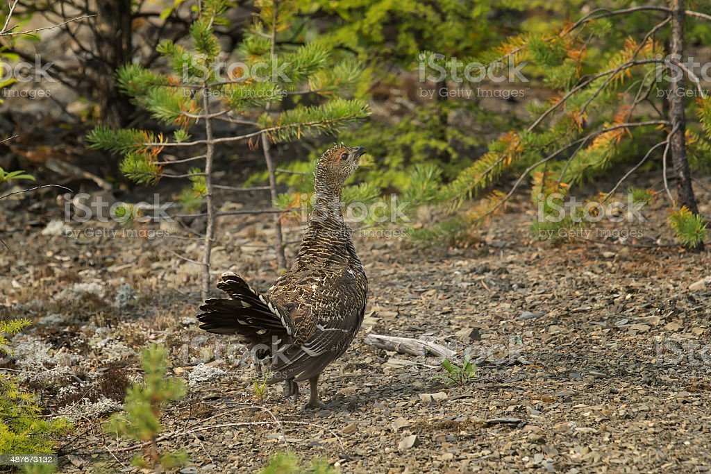 young capercaillie stock photo