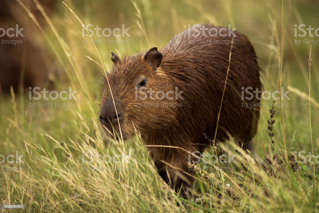 young capybara stock photo
