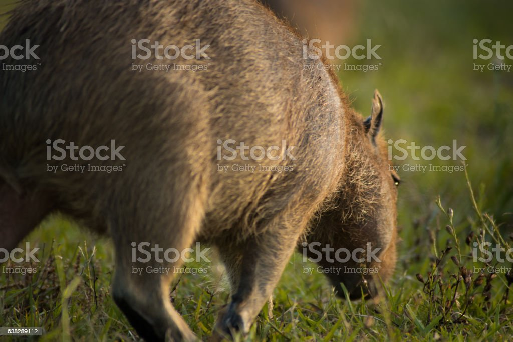 young capybara walking stock photo