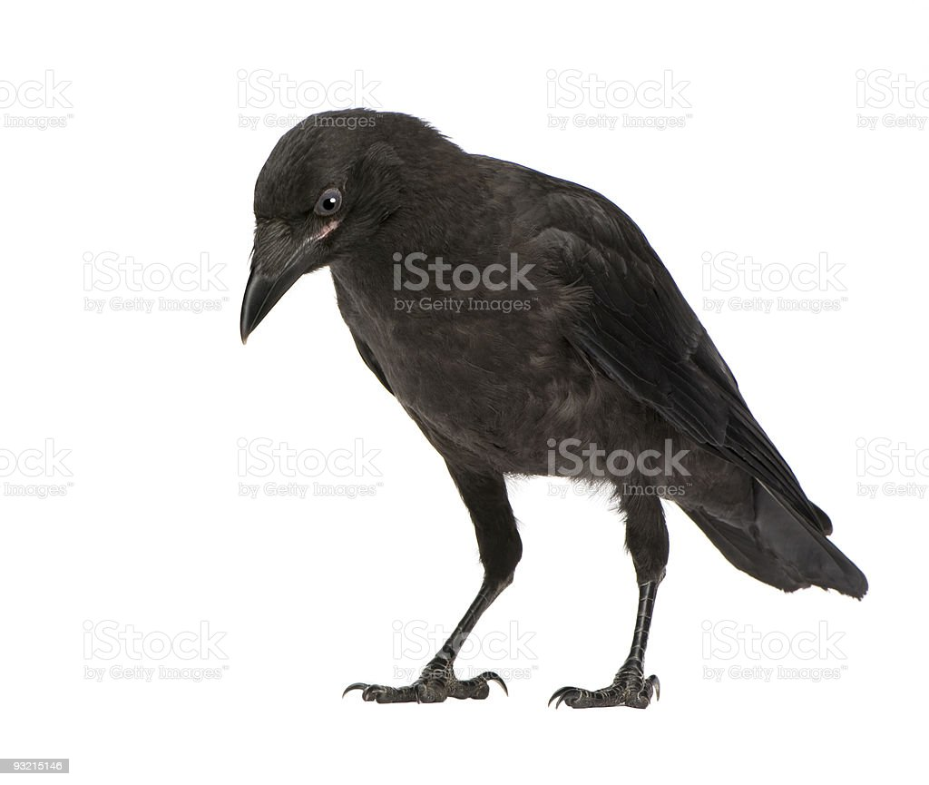 Young Carrion Crow - Corvus corone (3 months) stock photo