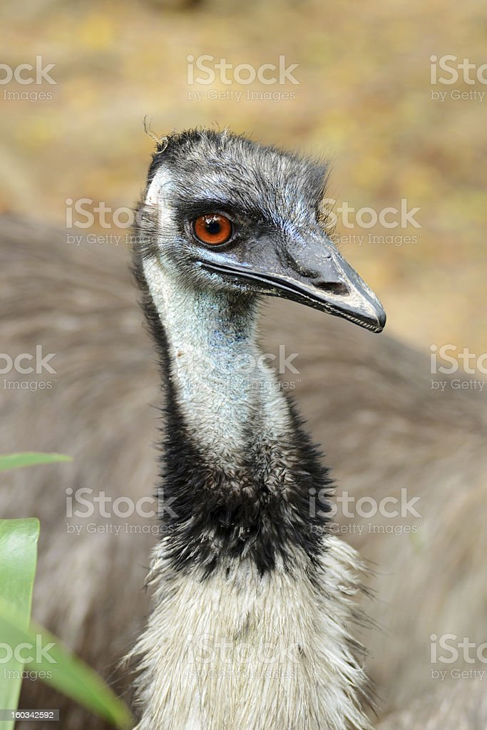 Young Cassowary royalty-free stock photo