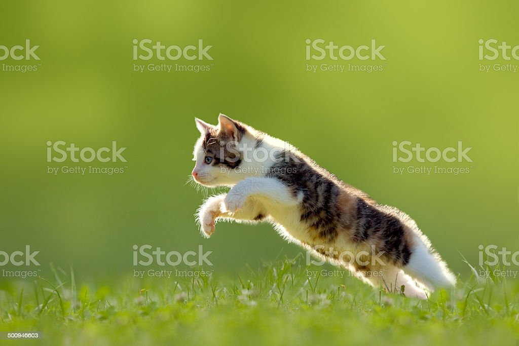Young cat jumps over a meadow backlit stock photo