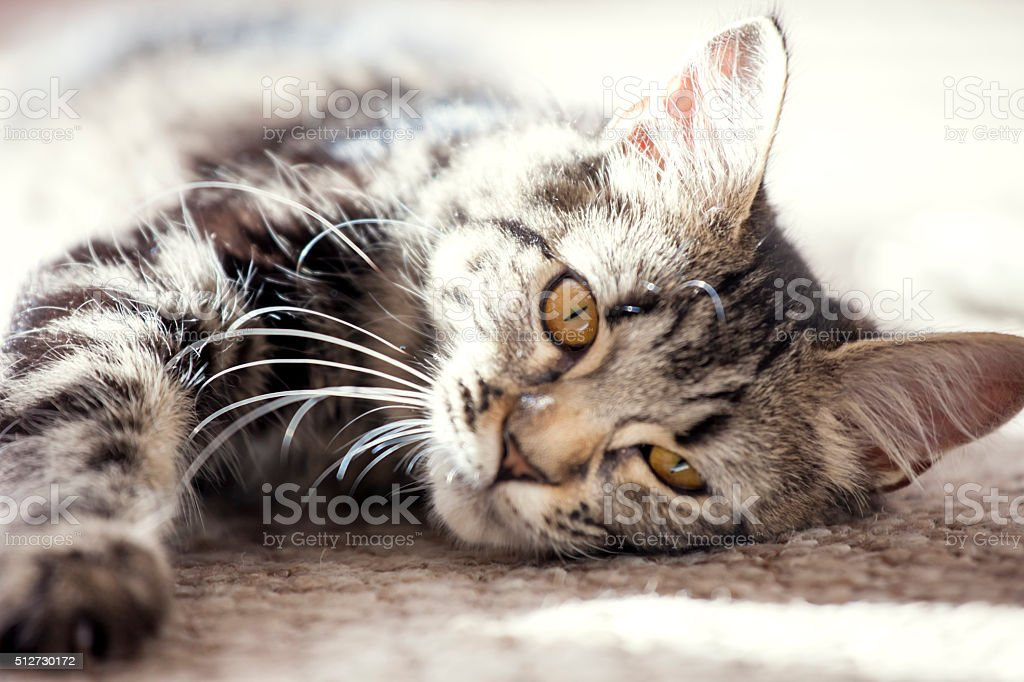 Young cat lying on the carpet enjoying the sunny day stock photo