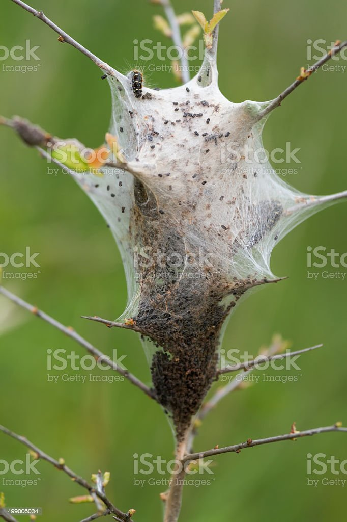 Young caterpillars in the nest stock photo