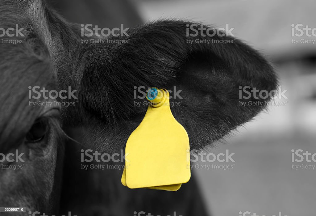 Young cattle stock photo