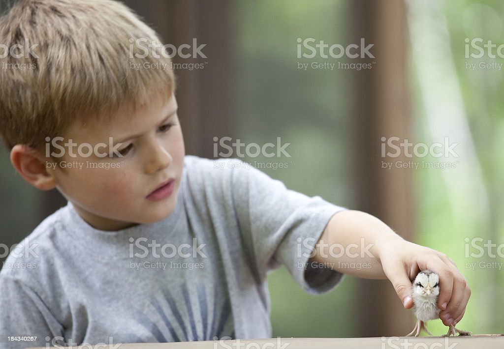Young Caucasian Boy Picking Up a Chick royalty-free stock photo