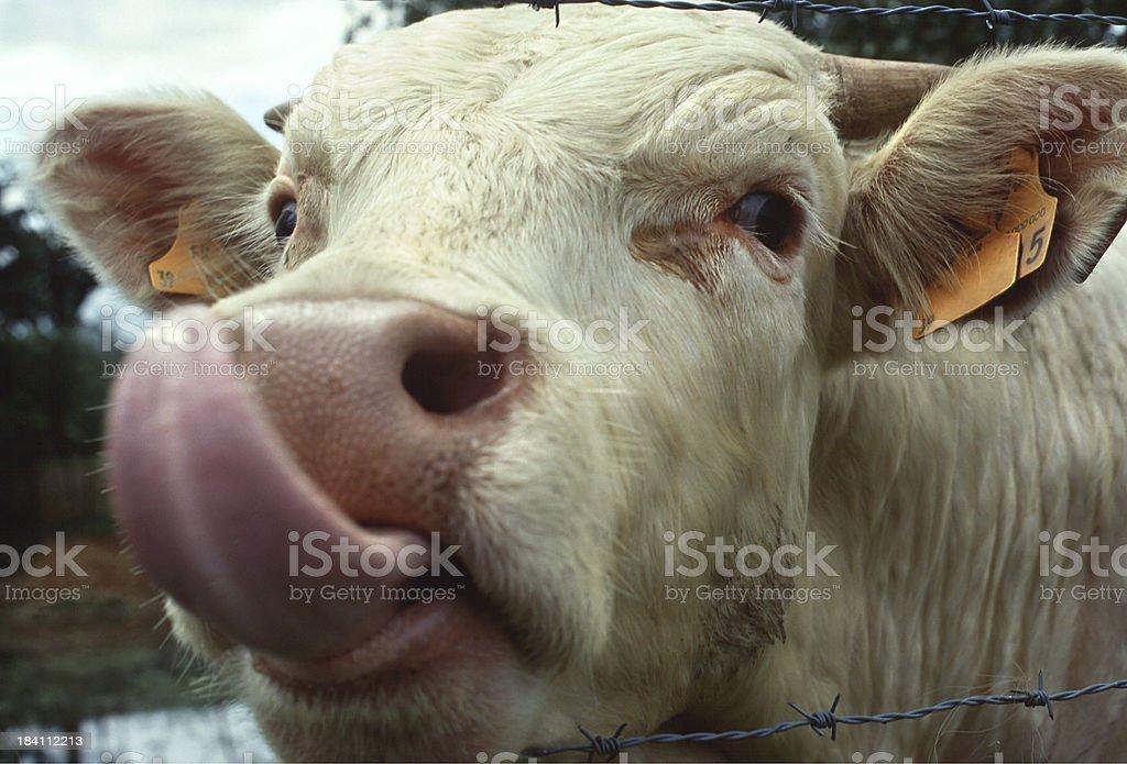 Young Charolais Bull royalty-free stock photo