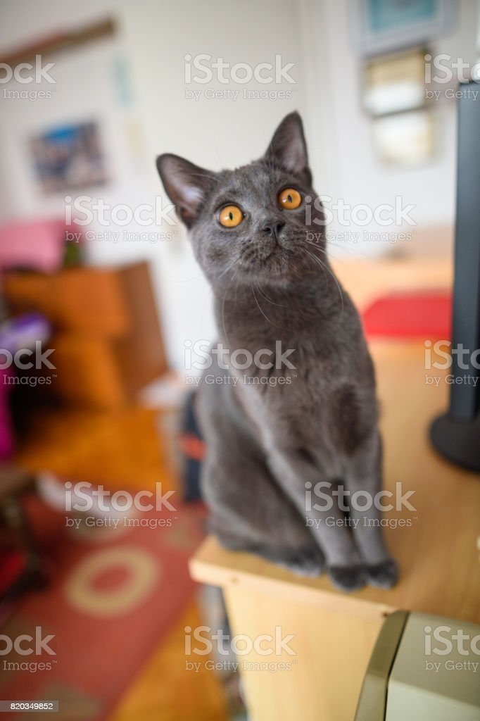 Young Chartreux Looking At Camera stock photo