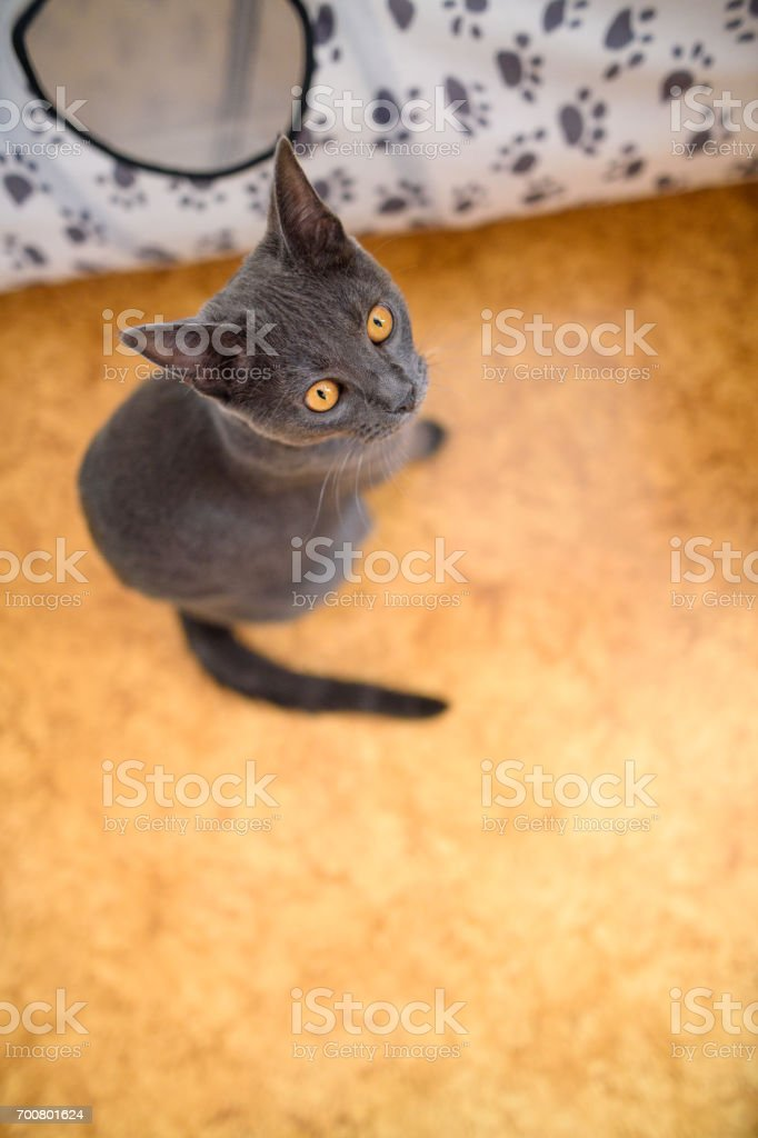 Young Chartreux Looking up stock photo