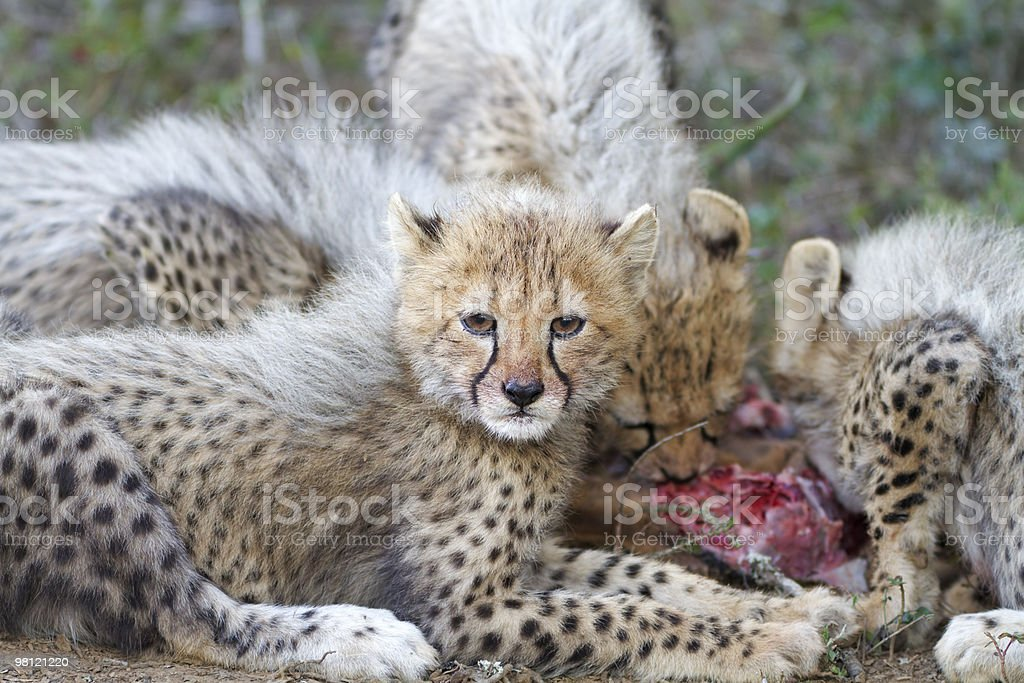 Young cheetah cubs on kill royalty-free stock photo
