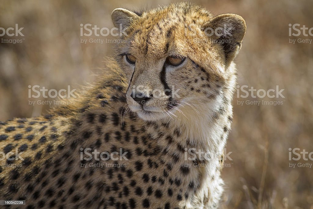 young cheetah in long grass, Kenya, East Africa stock photo