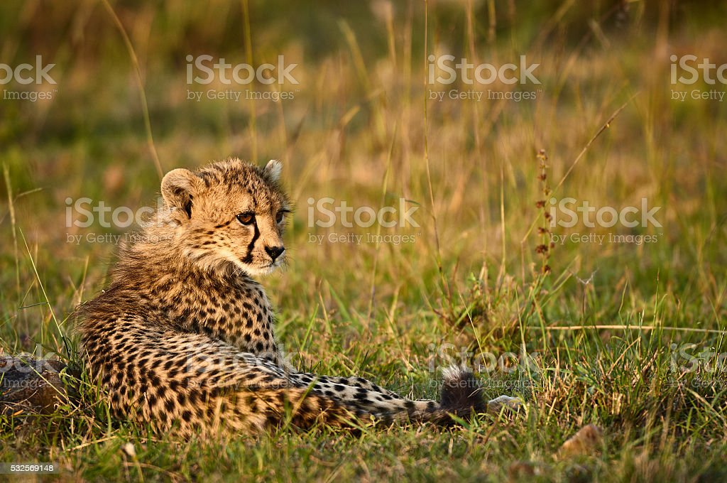 Young cheetah in the wild stock photo