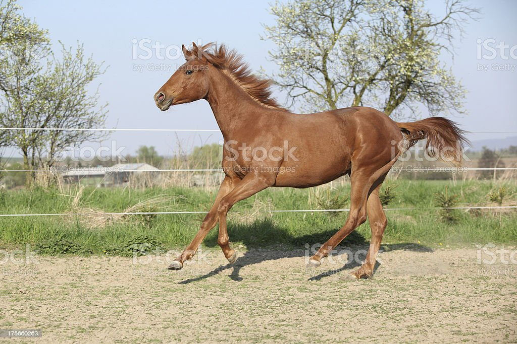 Young chestnut horse running in spring royalty-free stock photo