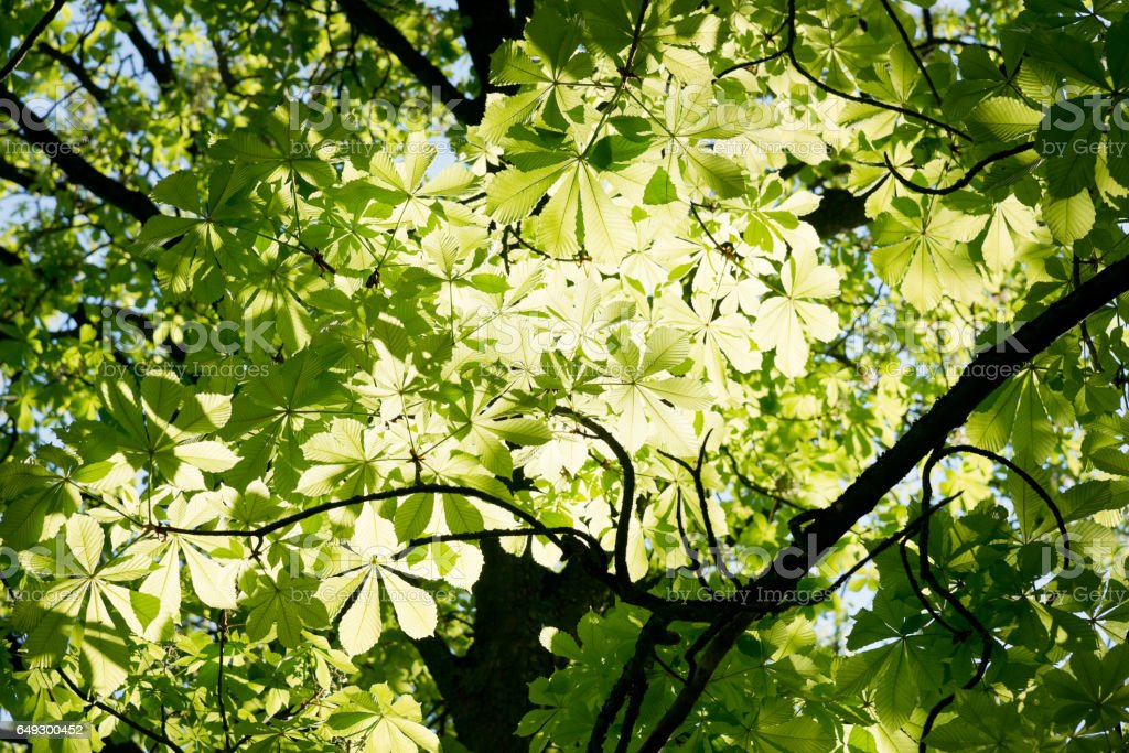 Young chestnut leaves against the light stock photo