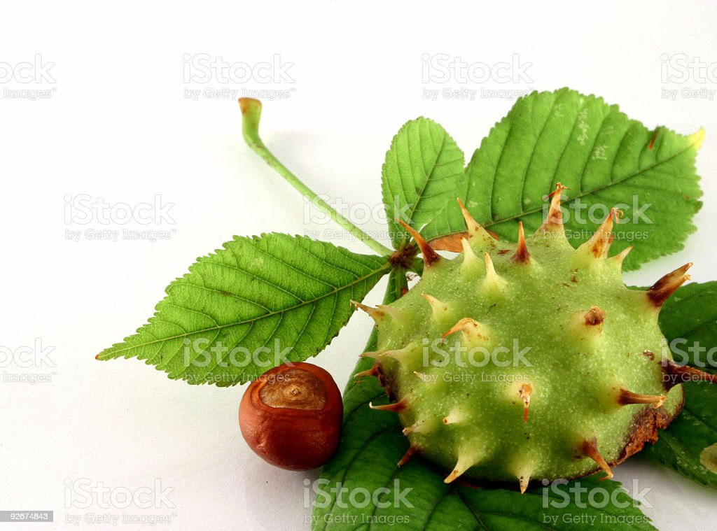 Young chestnut royalty-free stock photo