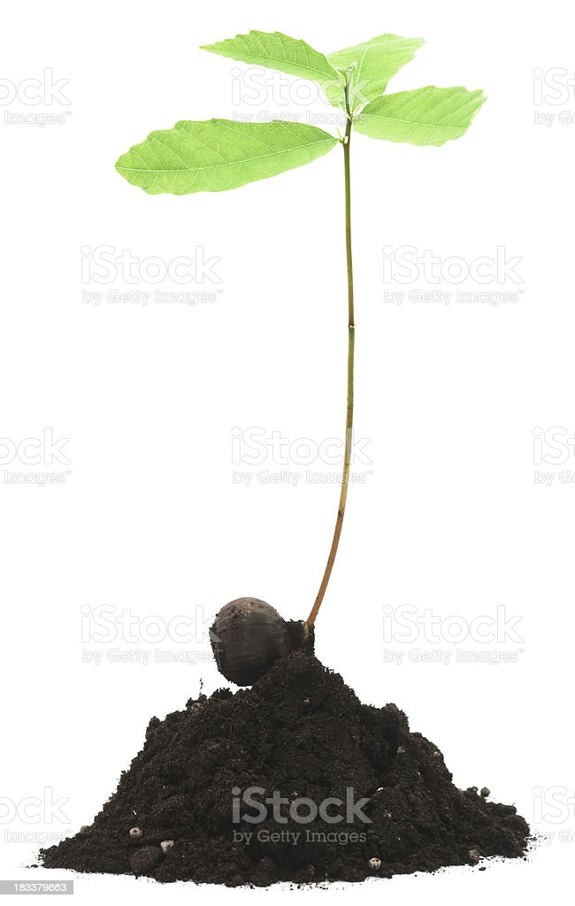 Young chestnut tree in dirt isolated on white royalty-free stock photo