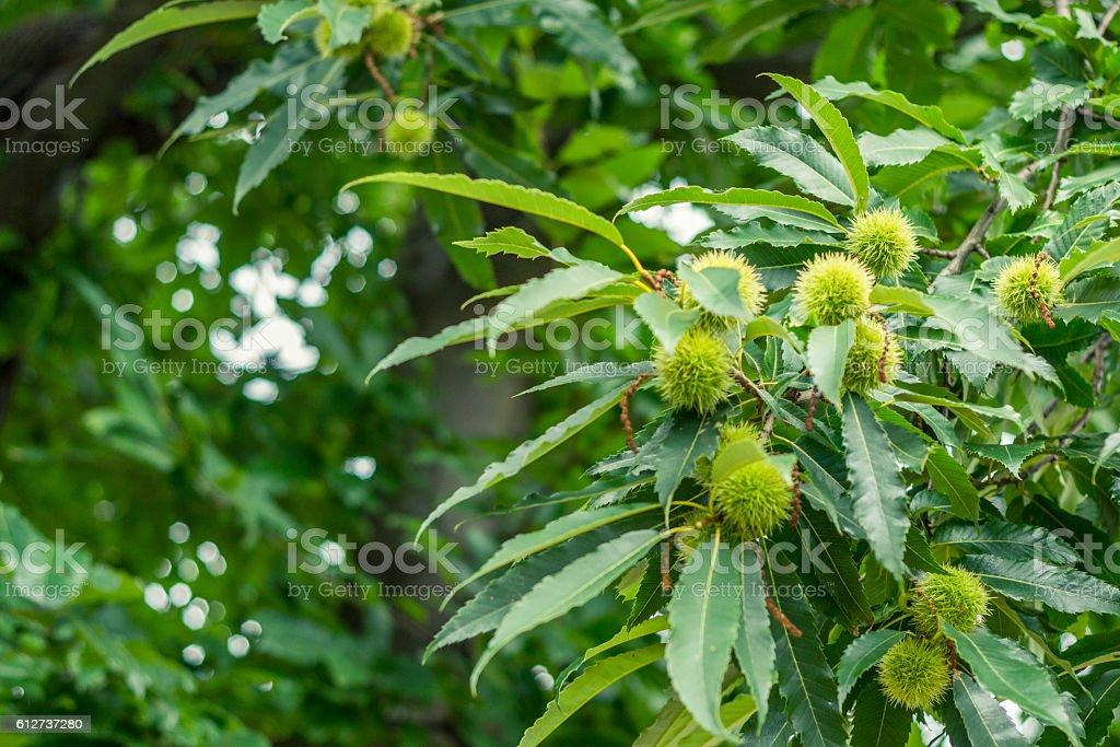 Junge Kastanien am heimischen Baum stock photo