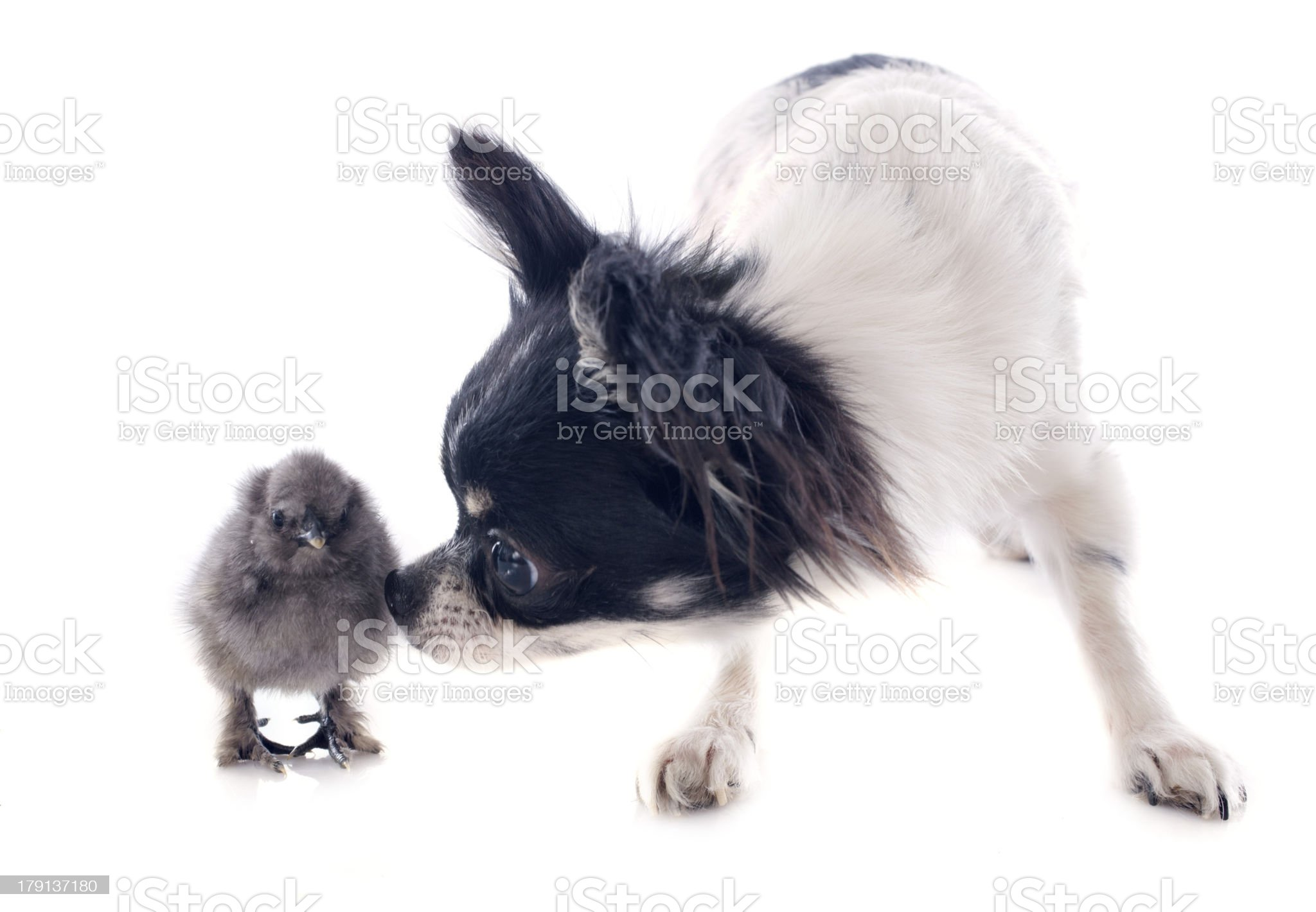 young chick and chihuahua royalty-free stock photo