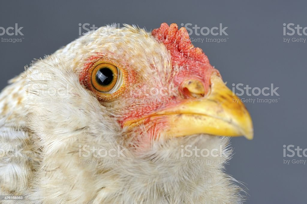 Young Chicken Head Close-Up royalty-free stock photo