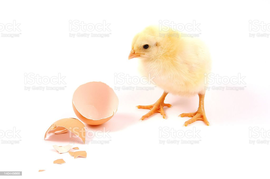 Young chicken royalty-free stock photo
