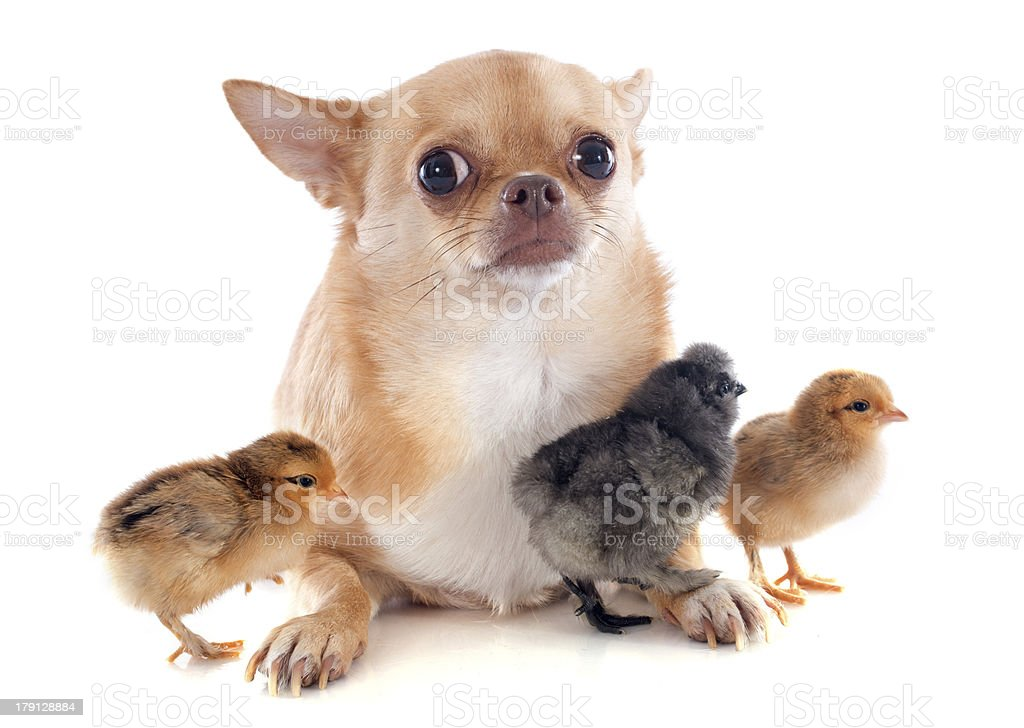 young chicks and chihuahua royalty-free stock photo