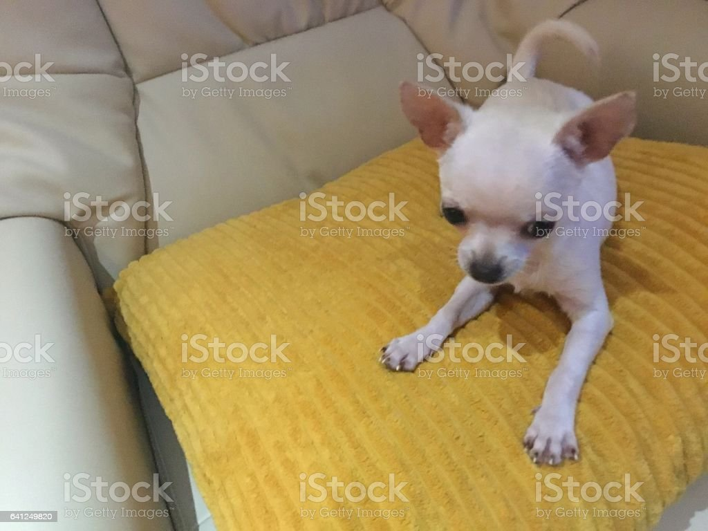 Young Chihuahua Puppy Playful stock photo