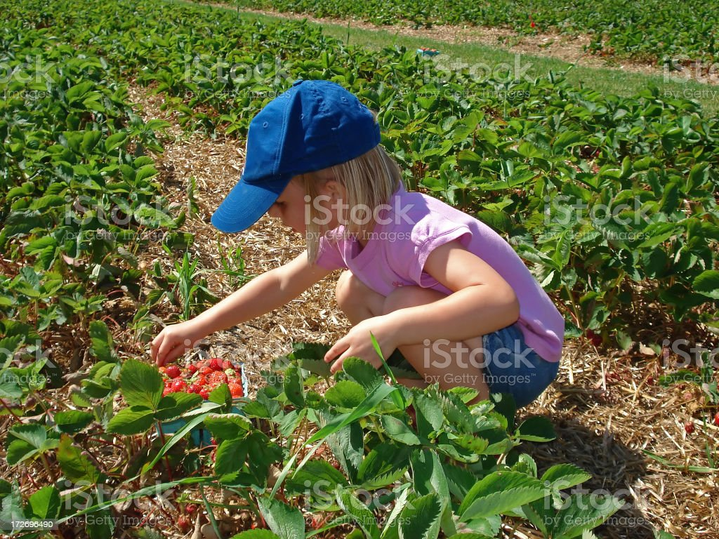 Young child picking strawberries royalty-free stock photo