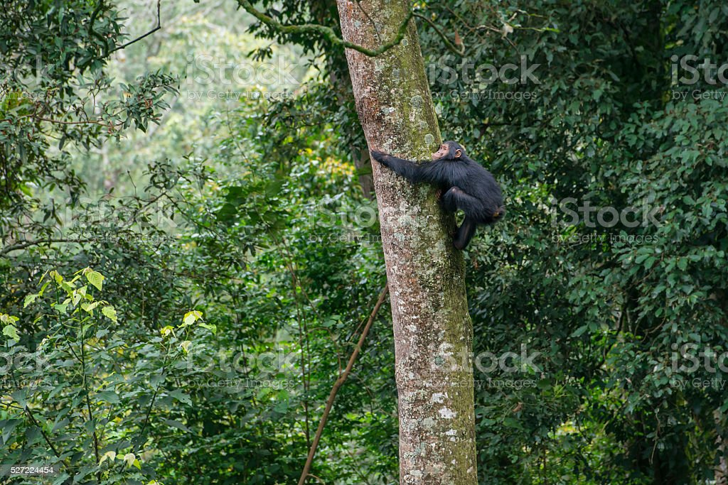 Young chimpanzee climbing in a tree, wildlife shot, Nyungwe, Rwanda stock photo