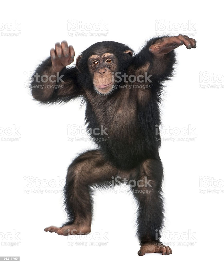 Young Chimpanzee dancing stock photo