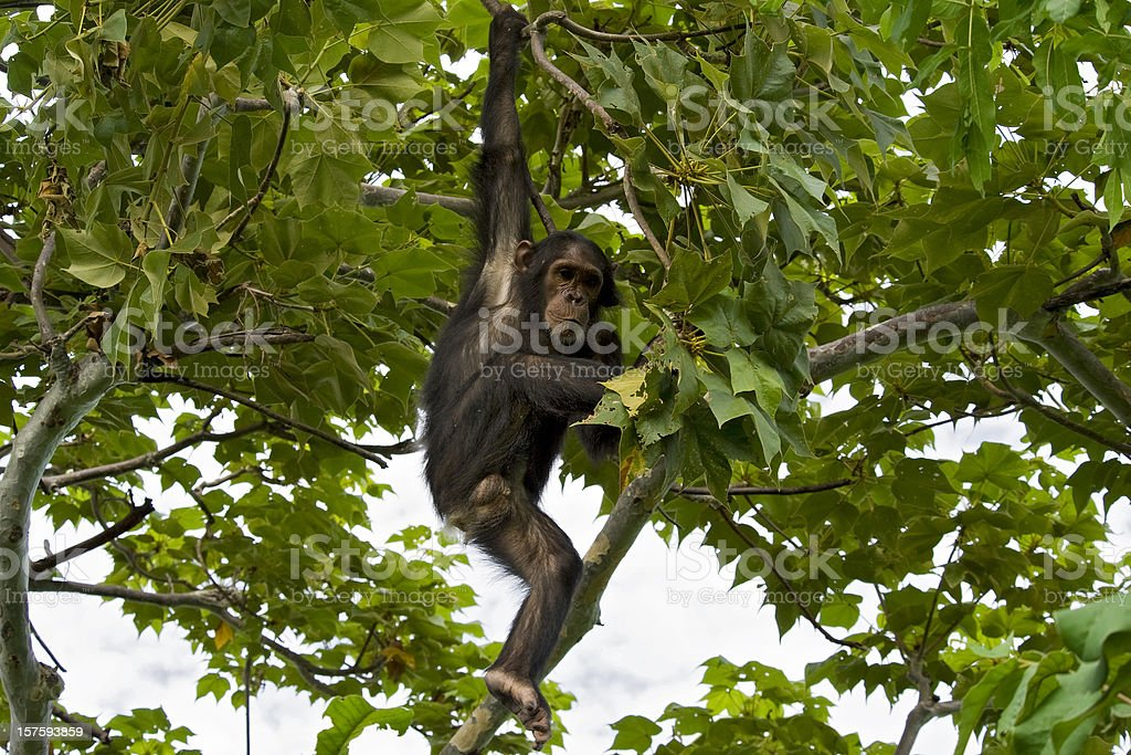 Young chimpanzee is climbing down from a tree, wildlife shot stock photo
