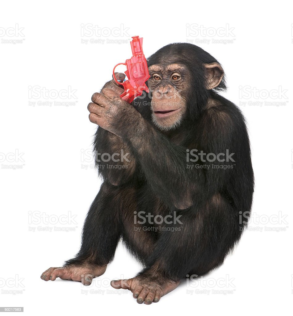 Young Chimpanzee playing with a gun (5 years old) stock photo