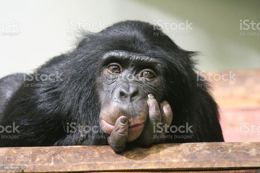 Young Chimpanzee - Simia troglodytes stock photo