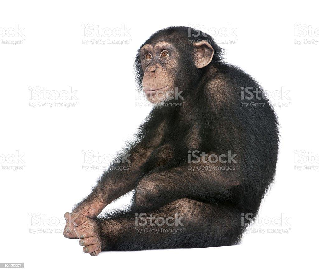 Young Chimpanzee - Simia troglodytes (5 years old) stock photo