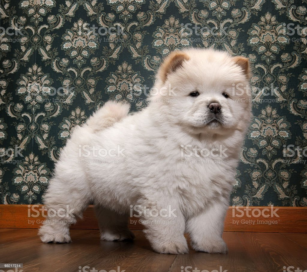 young Chow-chow in a retro room stock photo