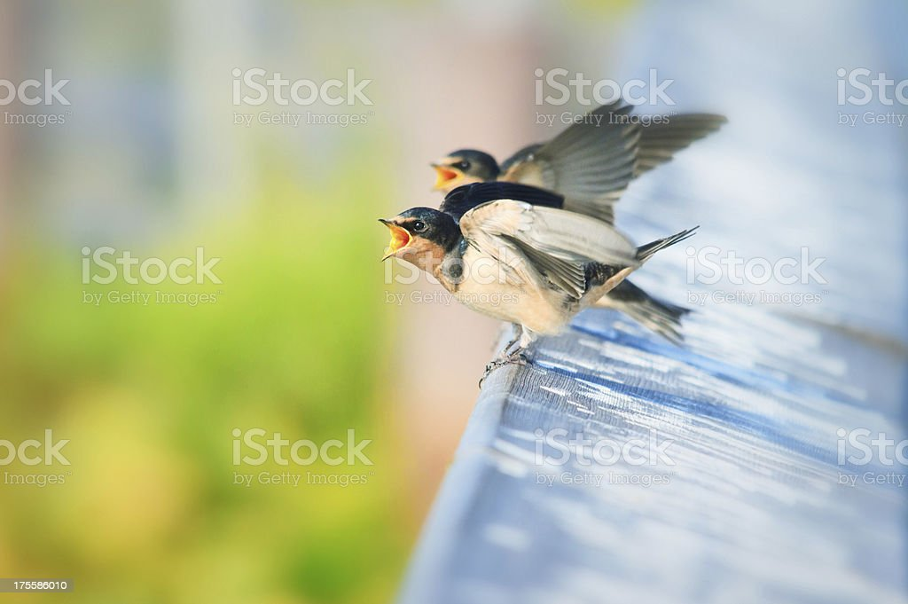 Young Cliff Swallows Waiting for a Parent To Feed Them. royalty-free stock photo