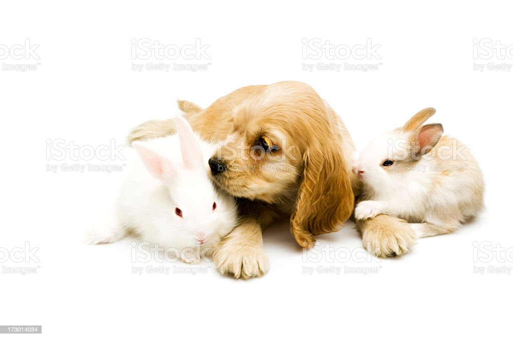 young cocker and rabbits stock photo
