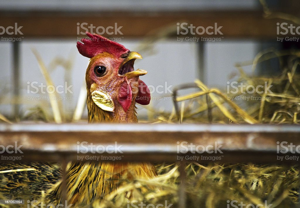 Young cockerel crowing royalty-free stock photo