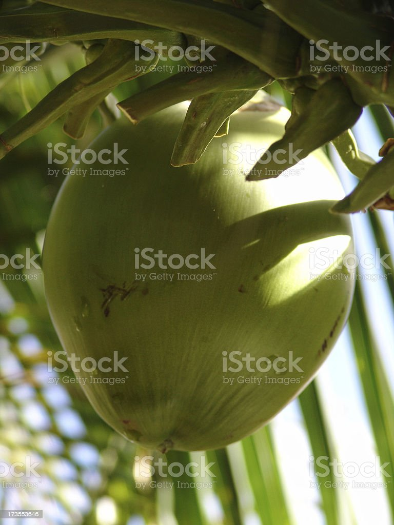 Young Coconut Dangles from a Palm Tree stock photo