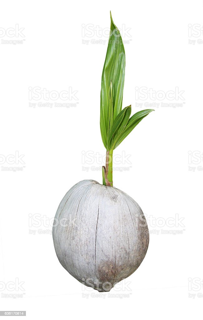 Young coconut tree stock photo