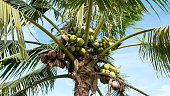 Young coconuts on tree