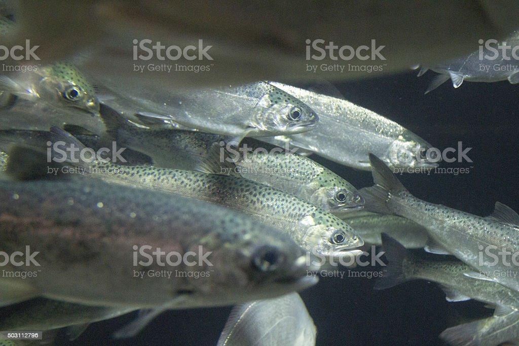 Young Coho Salmon stock photo