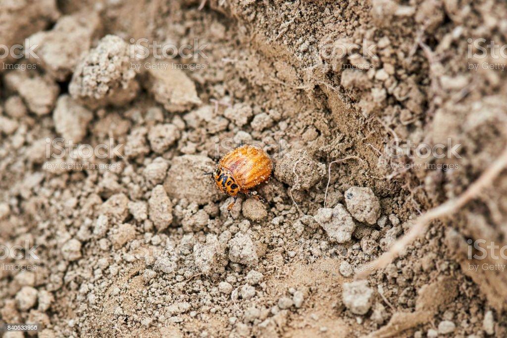 Young Colorado beetle stock photo
