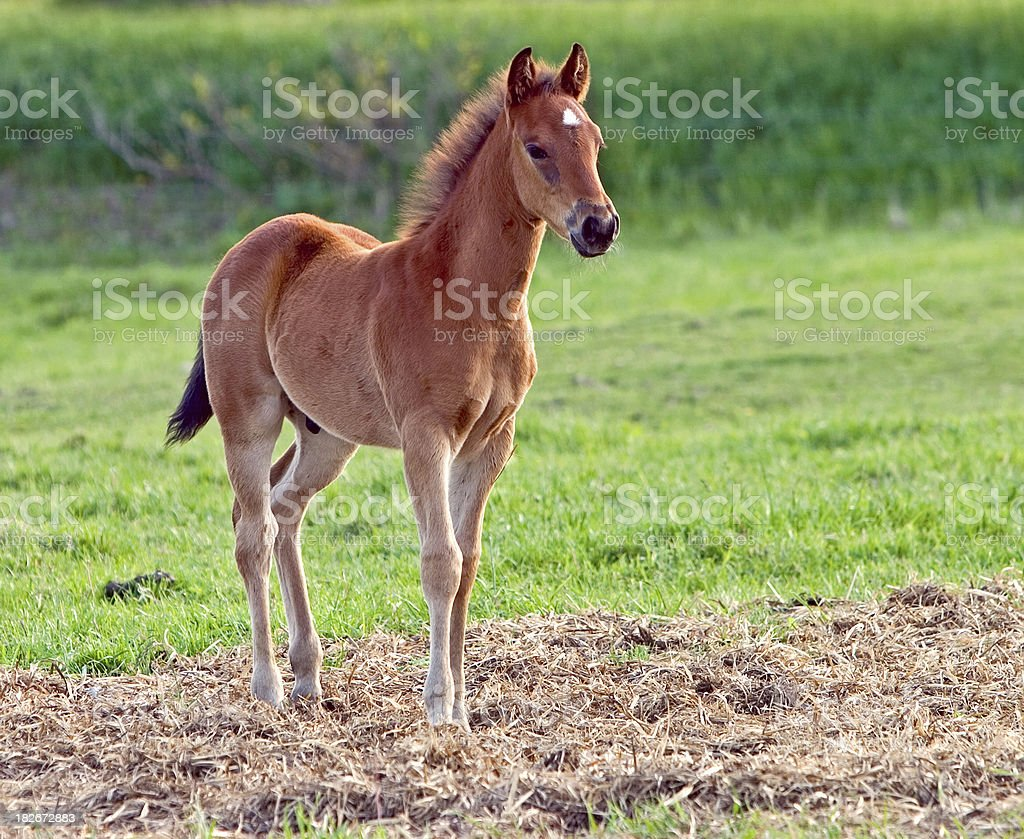 Young Colt stock photo