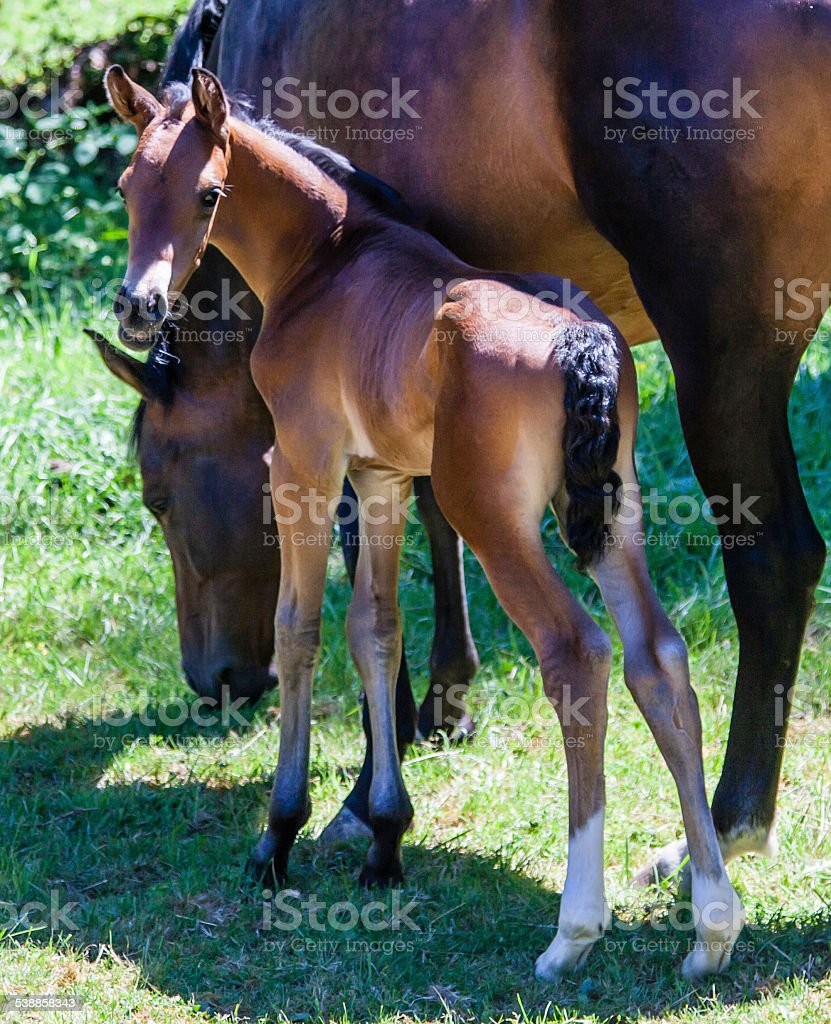 Young Colt with Mother eating green grass stock photo