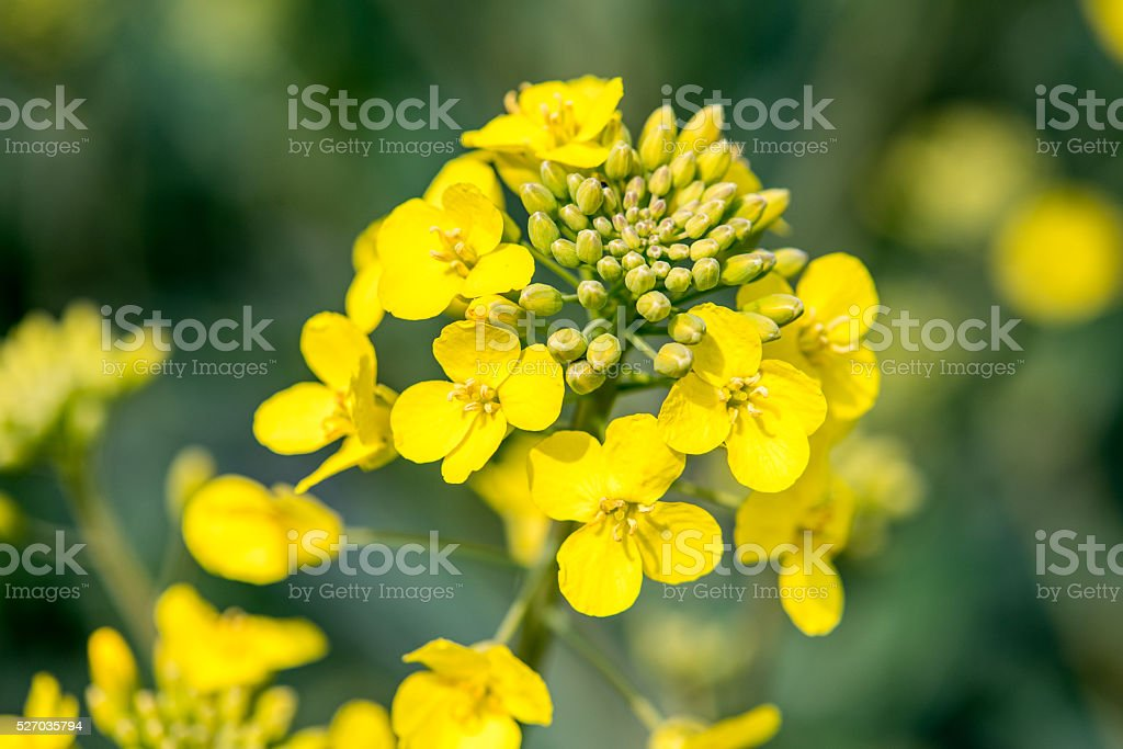 Young colza flowers stock photo