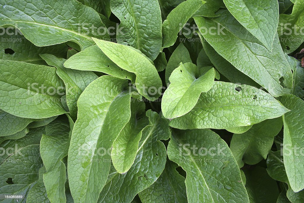 Young comfrey stock photo