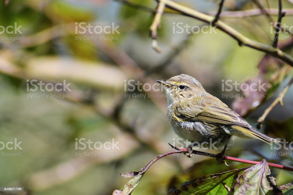young common chiffchaff (Phylloscopus collybita) in the bushes, a small bird from the family of leaf warbler, close up portrait stock photo
