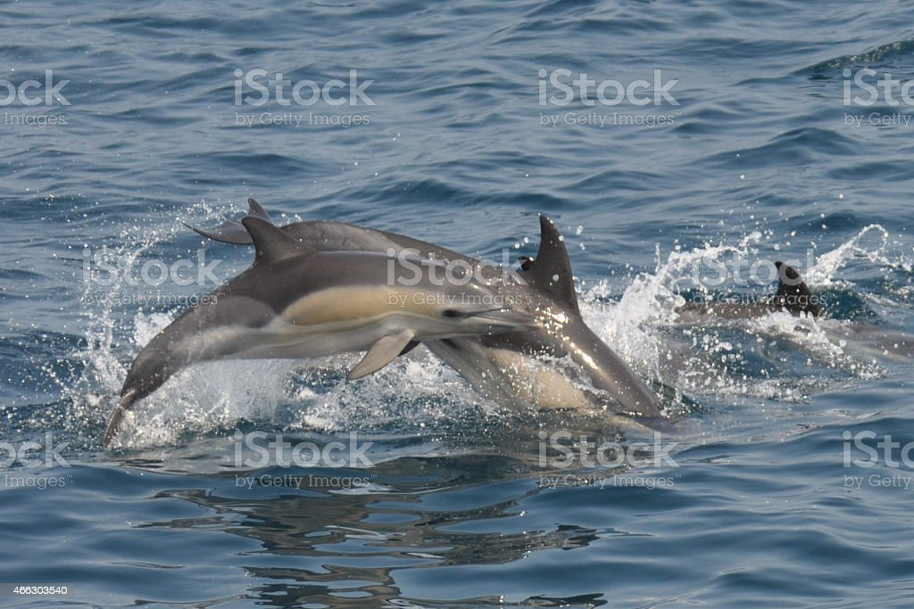 Young Common Dolphin stock photo